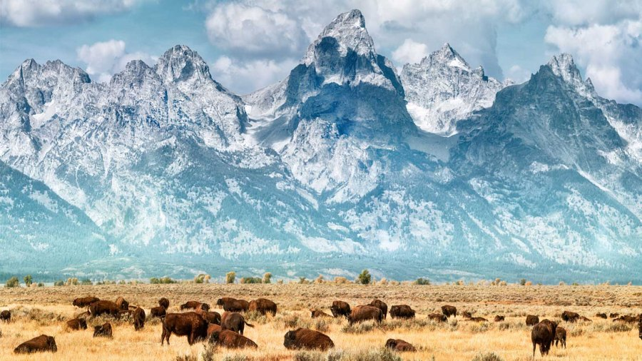 Bison below the Grand Teton Mountains