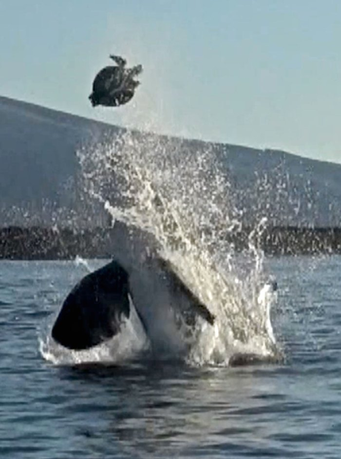 Orcas are known to play with their food.
