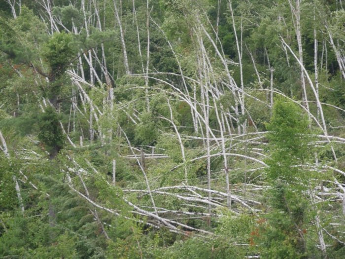 These birches were effectively mowed down by another intense wind event that hit the eastern part of the BWCAW earlier this summer.
