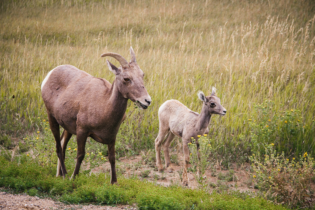 While Badlands seems quiet at first, wildlife abounds and you'll get a glimpse if you stay an hour or two. Photo: Johnie Gall