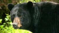 Black bear feature photo