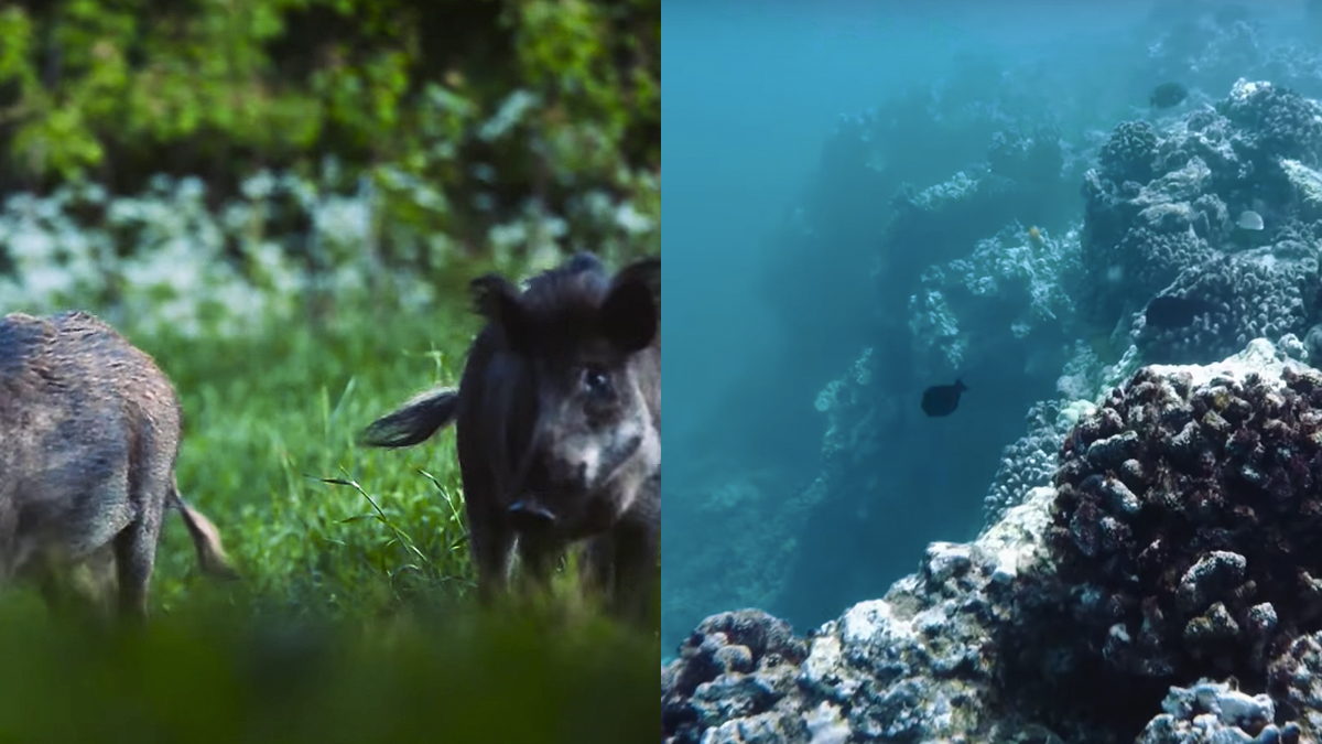 Who knew that pigs had such an impact on coral reefs?