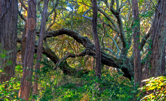 The island of Ocracoke is one of the most unique on the East Coast. The winding Hammock Hills trail. Photo: Jim Dollar/Flickr.