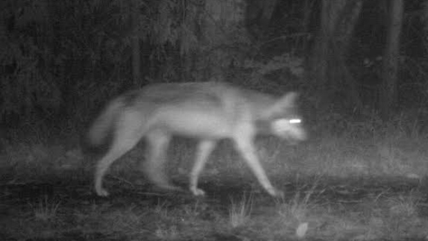 A wolf in the Pacific Rim National Park Reserve captured on a trail cam.