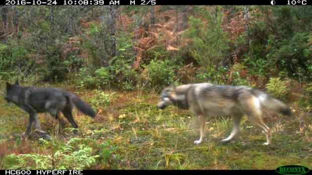 Wolves captured in a trail camera in Pacific Rim National Park Reserve.