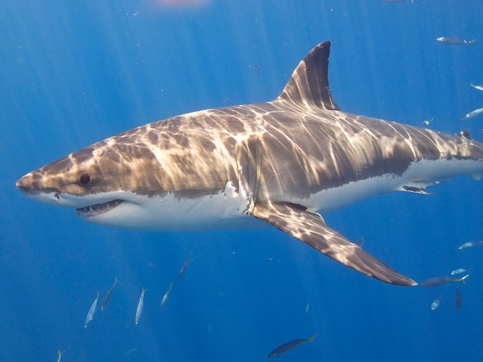 Shark attacks may be defensive, from hunger, or for some reasons we don't yet understand. Photo: Elias Levy/Flickr
