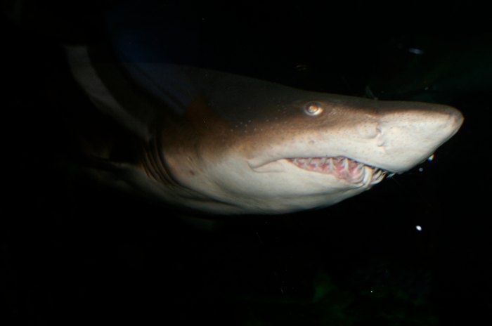 Like humans, sharks may use a variety of senses to feed. Photo: Ed Schipul/Flickr