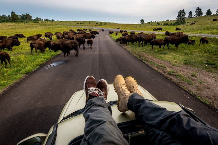 Wind Cave Bison Herd from the roof of the car in Black Hills of South Dakota