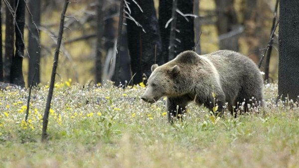 Grizzly_Bear_in_Field_at_Yellowstone_National_Park