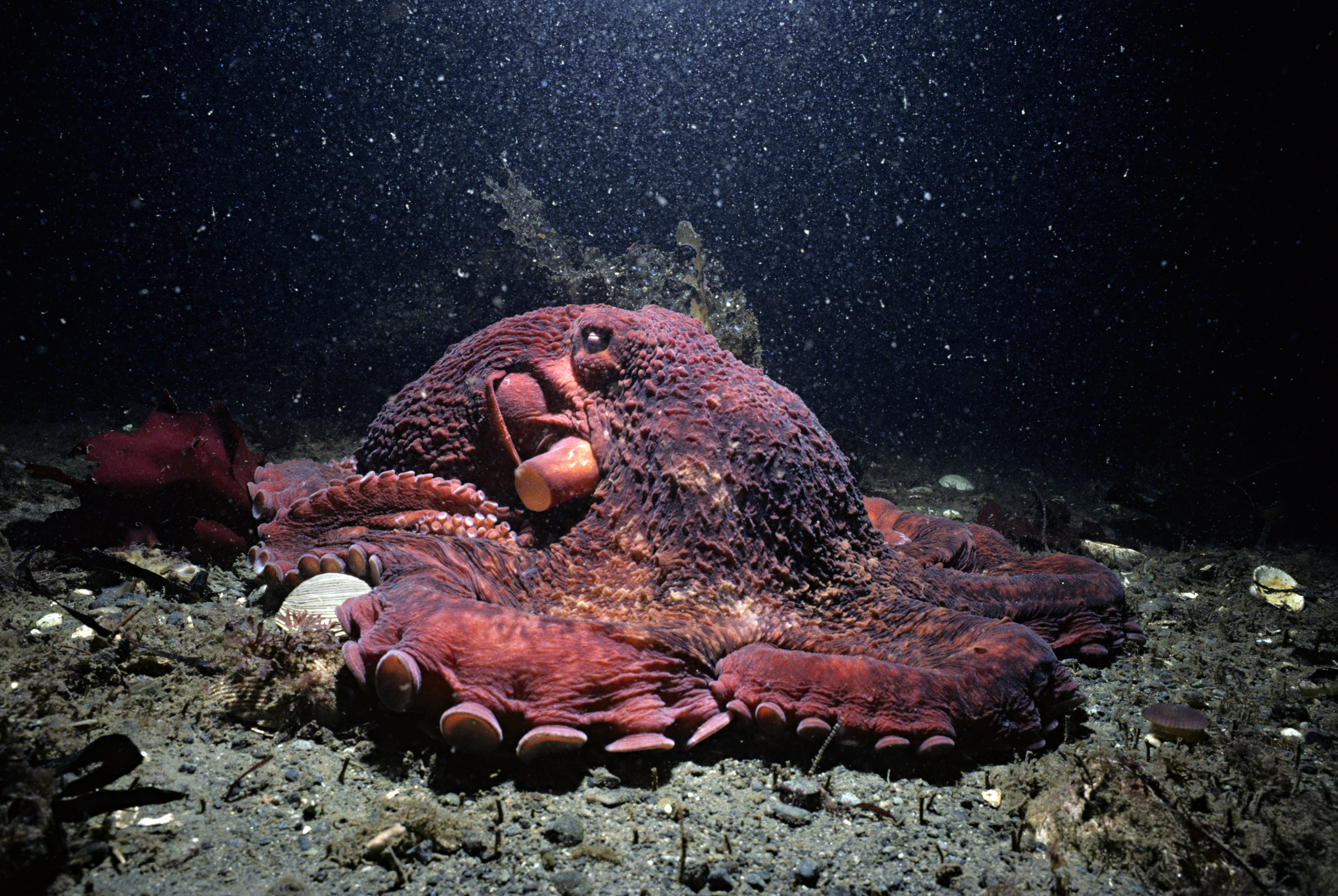 The Giant Pacific Octopus Has Been Two Species All Along