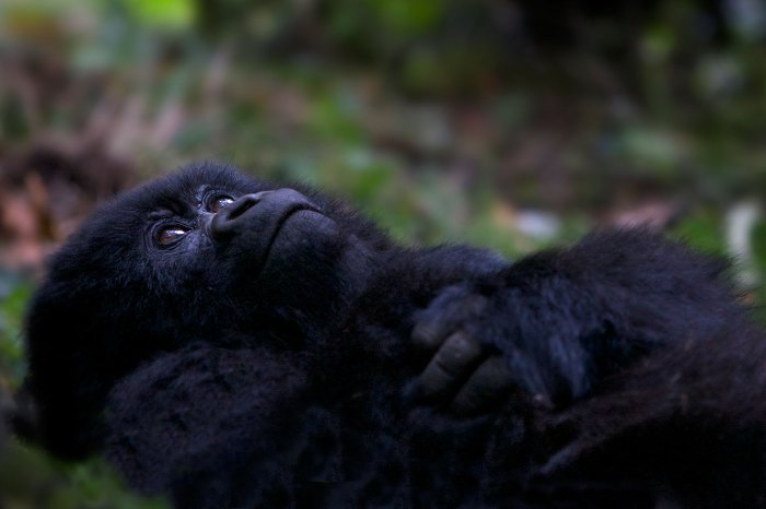 Mountain-Gorilla-in-the-Virunga-Mountains,-Rwanda