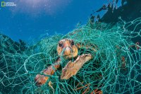An old plastic fishing net snares a loggerhead turtle in the Mediterranean off Spain