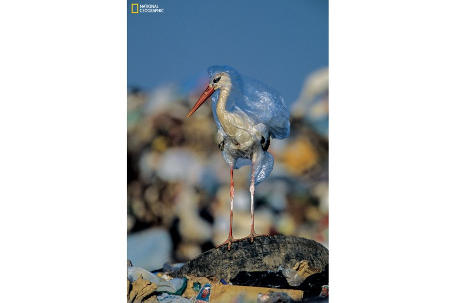 Stork caught in a plastic bag at a landfill in Spain
