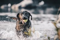 Dog with tennis ball in mouth running through lake