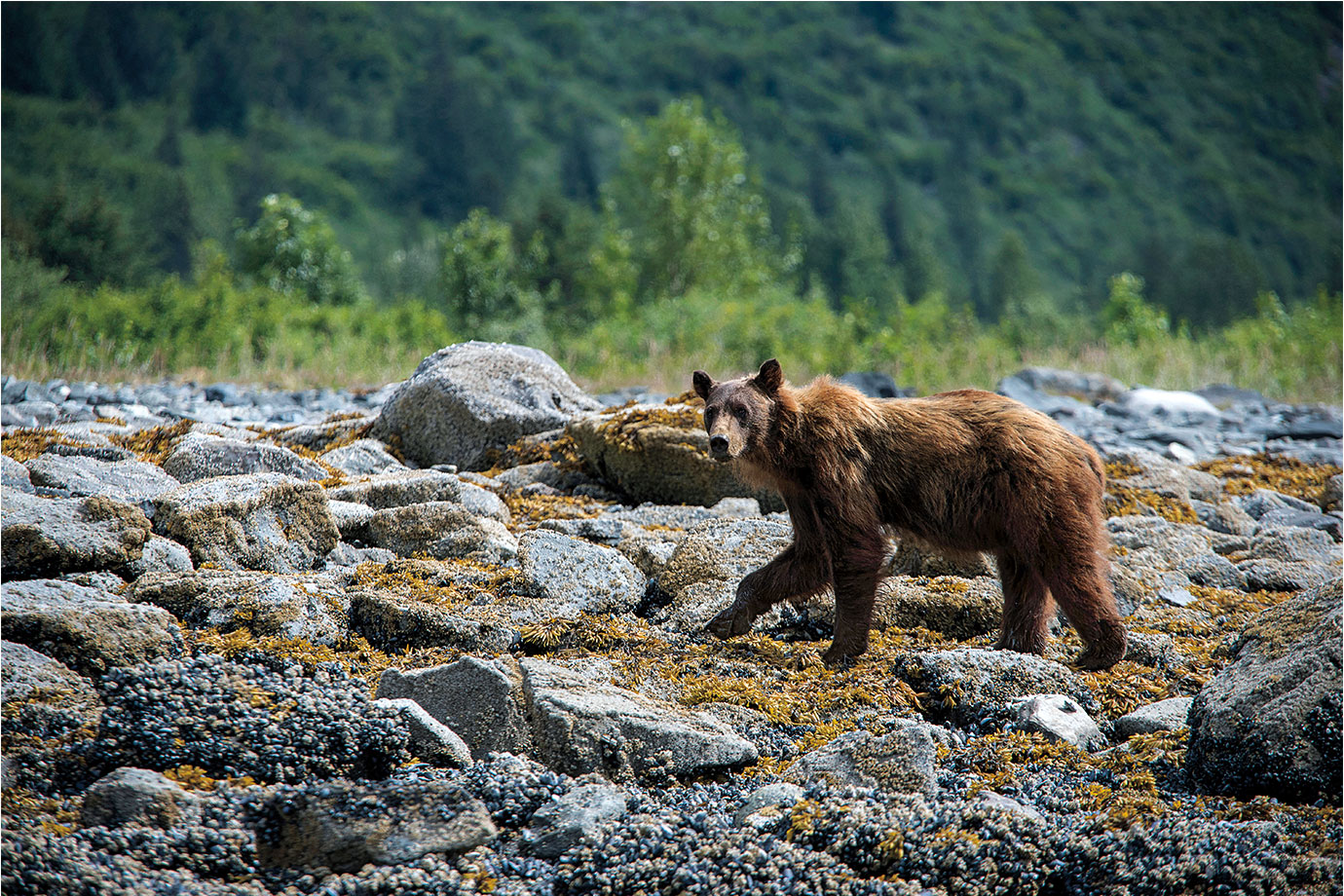 Glacier-Bay-brown-bear