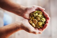 Hands holding a handful of dried hops