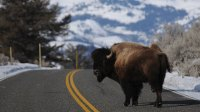 A bison looks back as it crosses the road near Lamar Valley in Yellowstone National Park.