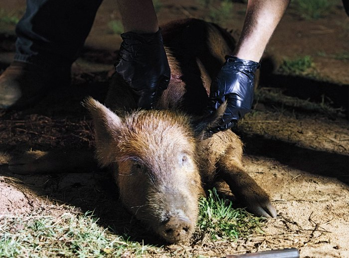 A guide begins to butcher a 30-pound wild pig.