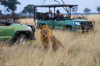 Lion on Wilderness Safaris game drive in Zimbabwe