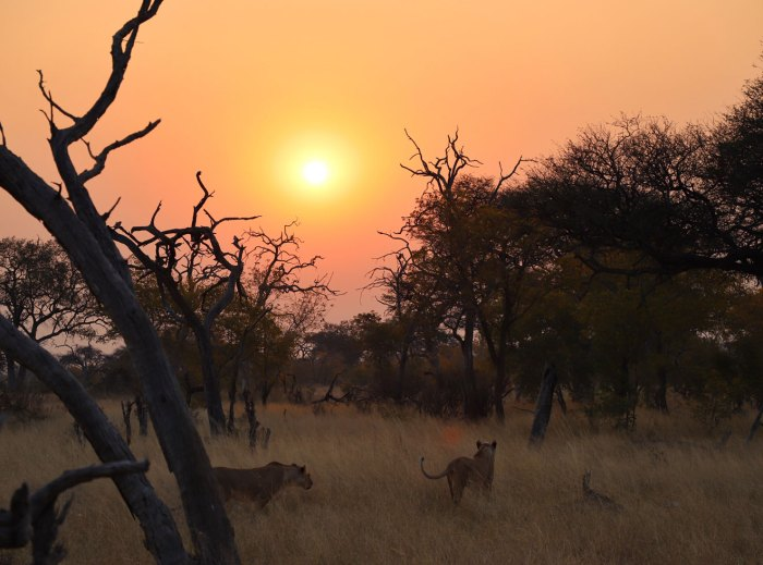 Lionesses in Hwange national Park at sunset