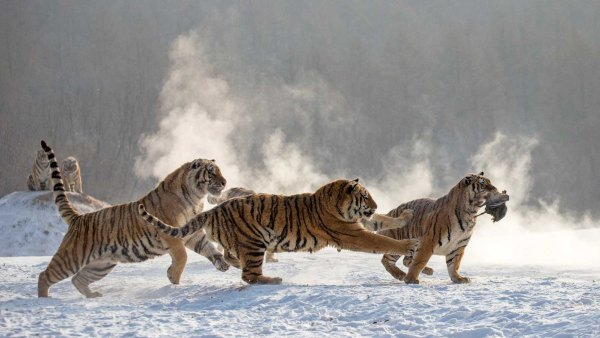 Siberian tigers in national park
