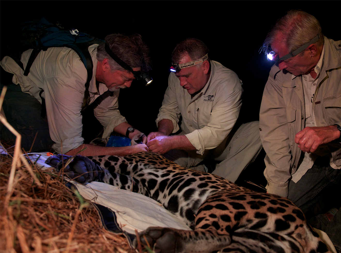 Collaring a jaguar in Brazil