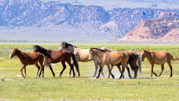 wild mustangs in a remote area of the Eastern Sierra Nevada mountains of California