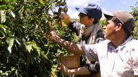 Harvesting coffee beans