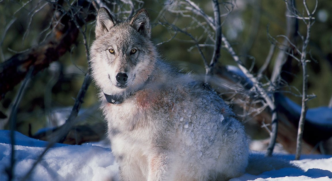 Beloved Yellowstone National Park Wolf 'Spitfire' Is ...