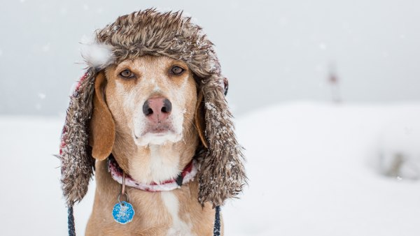 A dog is wearing a fur hat during a snow storm.