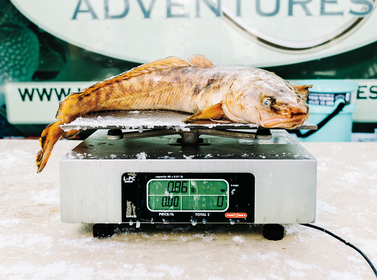 Weighing an eelpout.