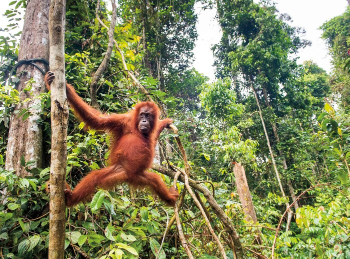 Tigers, lions, and orangutans, like this female in Sumatra, are threatened by deforestation linked to palm-oil production.