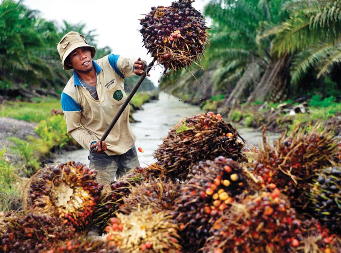 A plantation worker with just-harvested palm fruit.