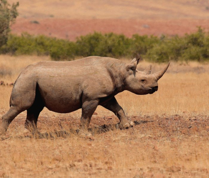 Closeup of black rhino