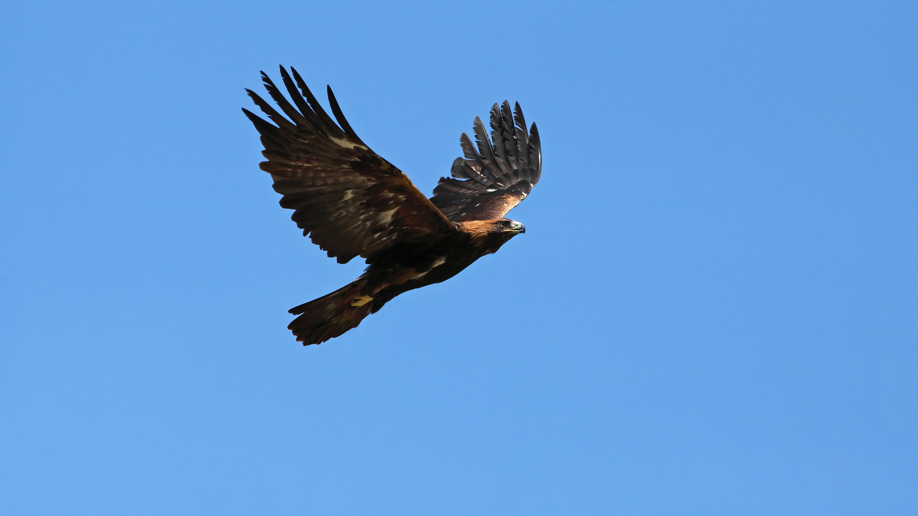 The First Yellowstone Golden Eagle Fitted With a GPS Tracker Was Poisoned by a Lead Bullet