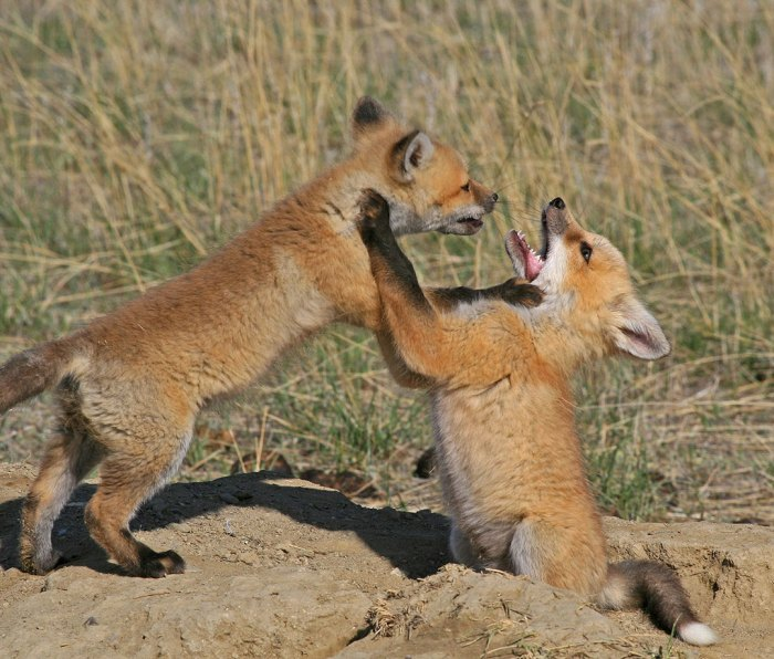 Swift foxes playing in Montana