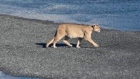 yellowstone-mountain-lion