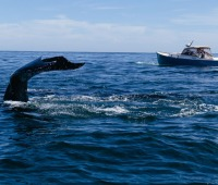 Whale-watching in Cape Cod, Michigan
