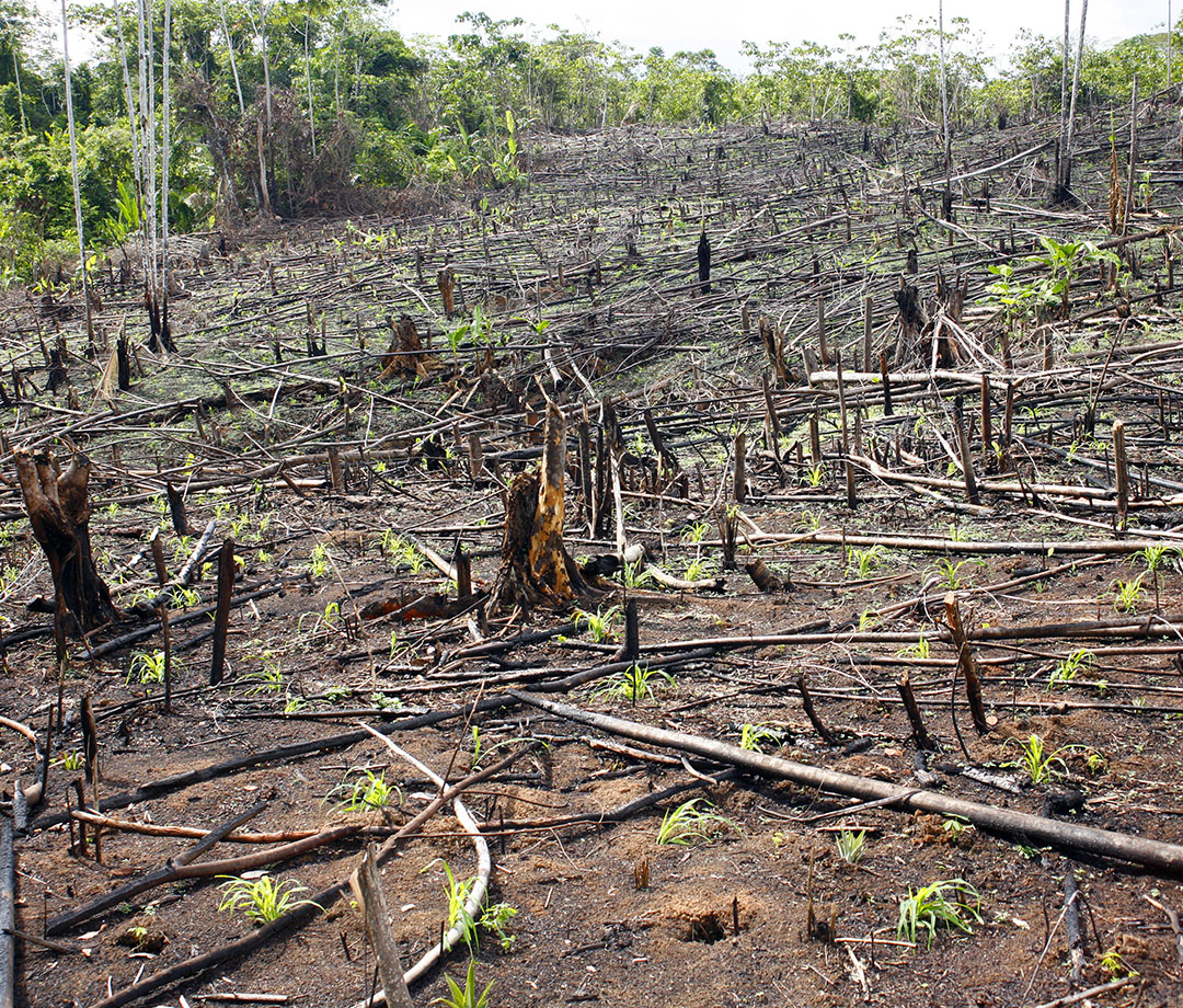 Slash-and-burn agriculture in the Peruvian Amazon, which clears the way for maize cultivation