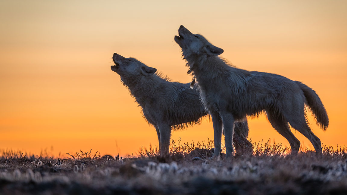 Nat Geo Photographer Ronan Donovan on Tracking White Wolves in the Arctic