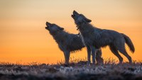 Kingdom of the White Wolf - Wolves howling. National Geographic / Ronan Donovan
