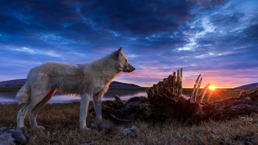 Kingdom of the White Wolf - Adult wolf standing over a carcass. National Geographic / Ronan Donovan