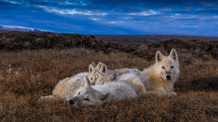 Four wolf pups and an adult wolf lounge together. (National Geographic/Ronan Donovan
