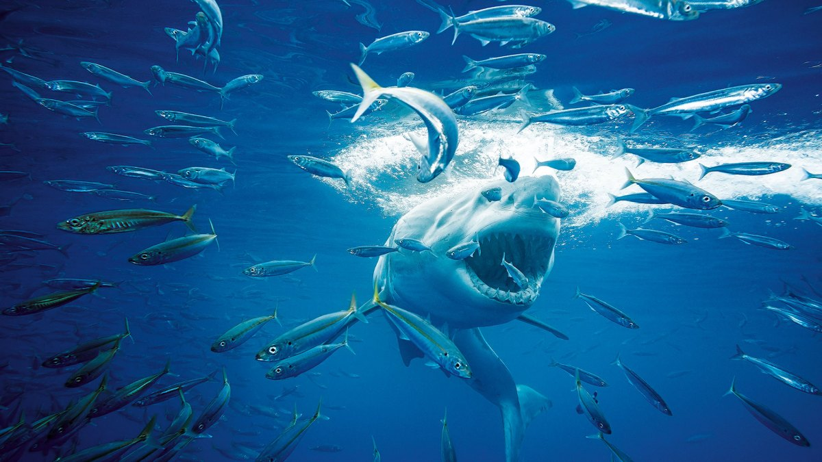A Wildlife Photographer Spent Three Days in a Cage to Snap This Great White Shark Feeding Frenzy