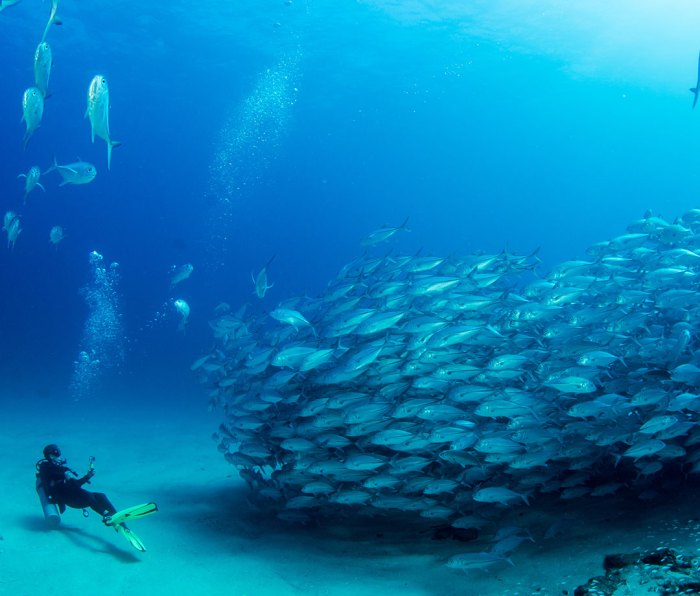Big eye trevallies forming a school with a diver at Cabo Pulmo National Park in Baja California Sur, Mexico