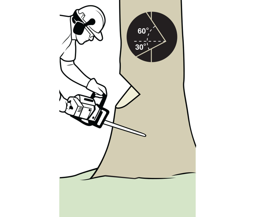 Felling a tree: using the chainsaw, make a V-shaped notch