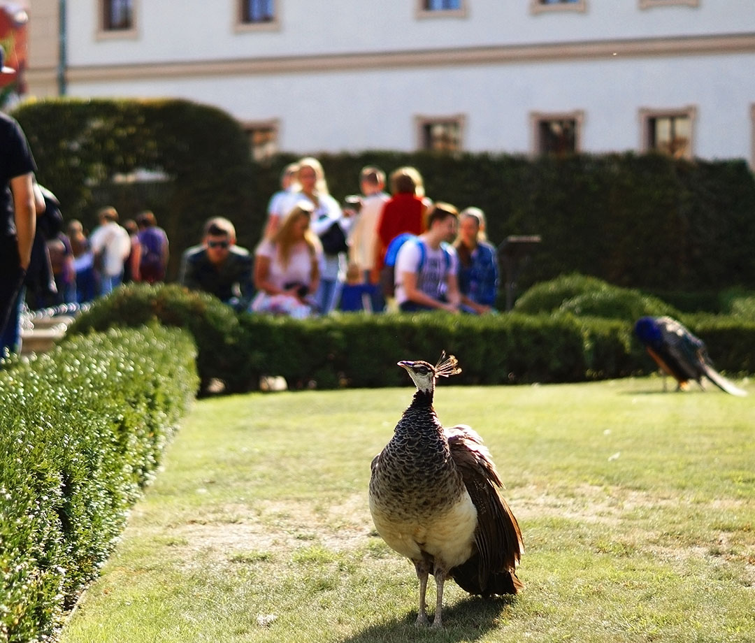 Peacocks freely wander the Wallenstein Garden in Prague