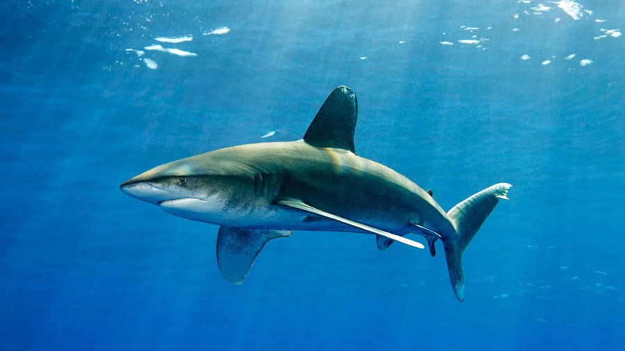 VARIOUS Oceanic whitetip shark (Carcharhinus longimanus), swims under the sea surface, Great barrier reef, Pacific 2010s
