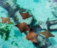 Young rays swimming near Nassau in the Bahamas, one of the Caribbean's premier diving destinations