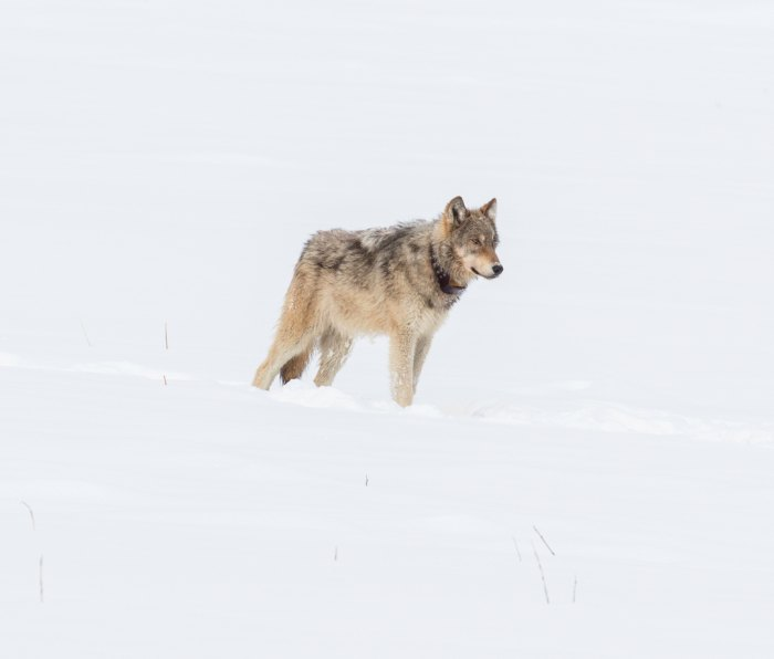 A collared gray wolf in Yellowstone.